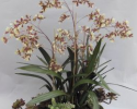 BAOO 178 Dancing Oncidium in Large Long Red Trough