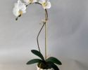 CAPO 101 Medium Phalaenopsis in a Small White Scalloped Pot
