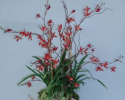 BACO 204 Flame Cymbidium in red box