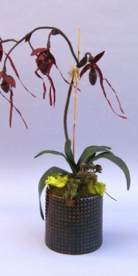 CALO 115 Black Latern Lady Slipper in a Large Dot Pot